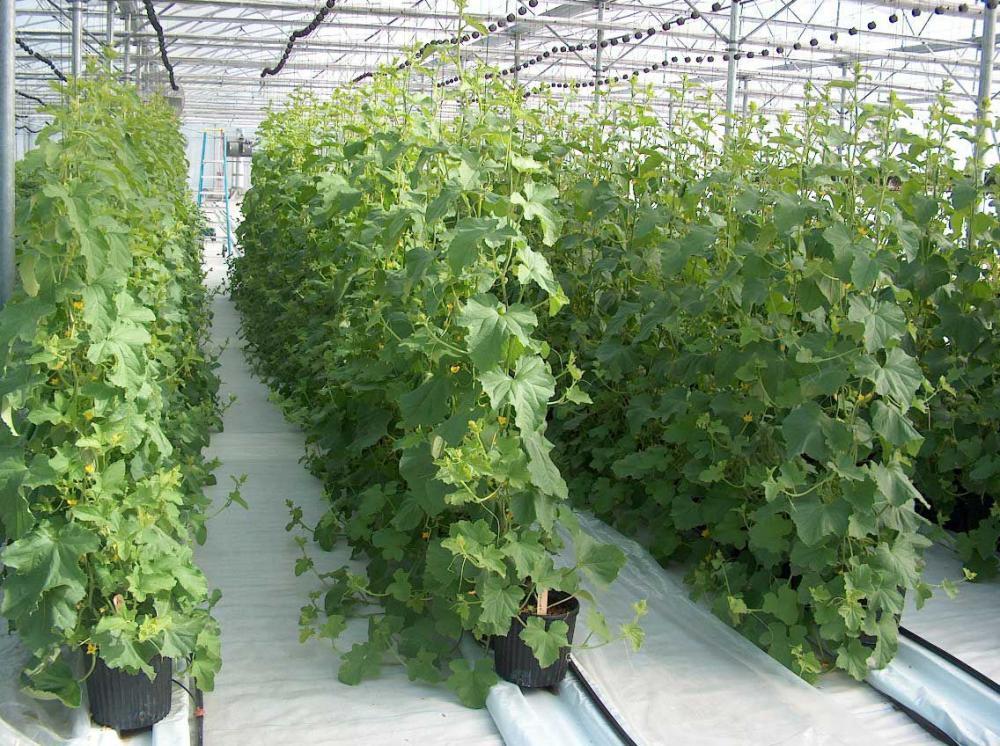 Выращивание огурцов на шпалере в теплице