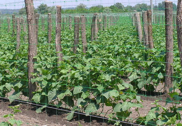 Выращивание огурцов шпалерным способом