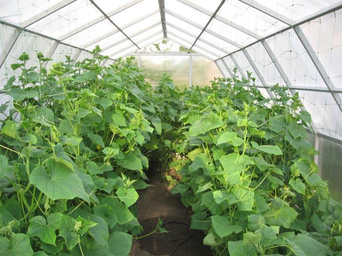 Выращивание огурцов в тепличных условиях