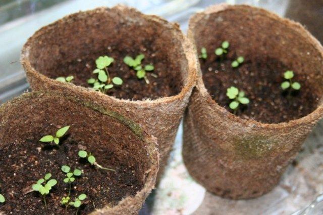 Выращивание рассады ремонтантной клубники