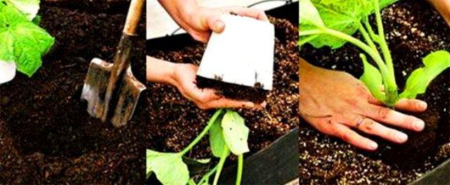 Высаживание рассады огурцов в открытый грунт