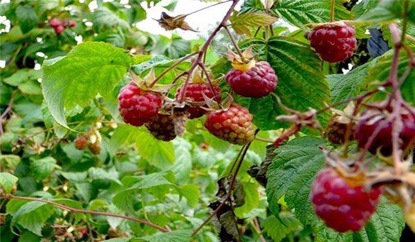 мелкие ягоды малины