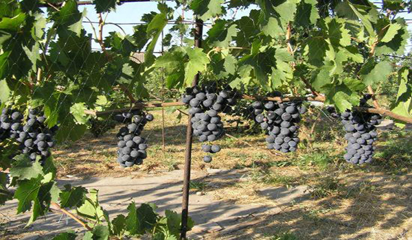 подвязаный на сатке виноград