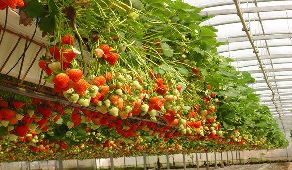 выращивание ампельных сортов клубники в теплице