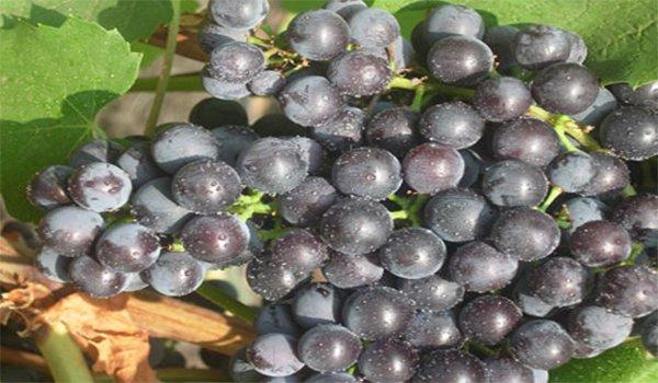 гроно плодов гурзуфского розового винограда