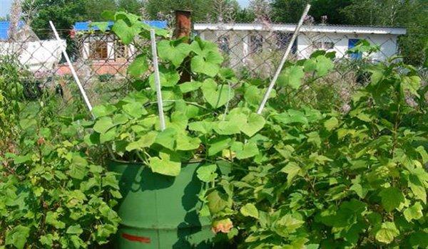 способ выращивания огруцов в бочке