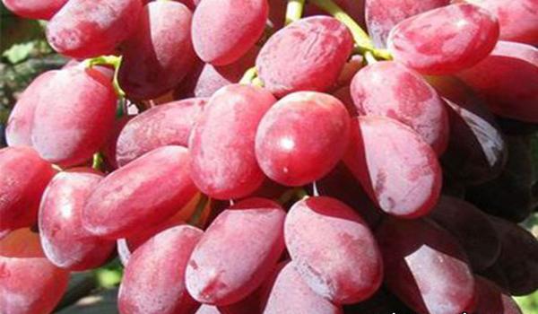 виноград сорта марсело