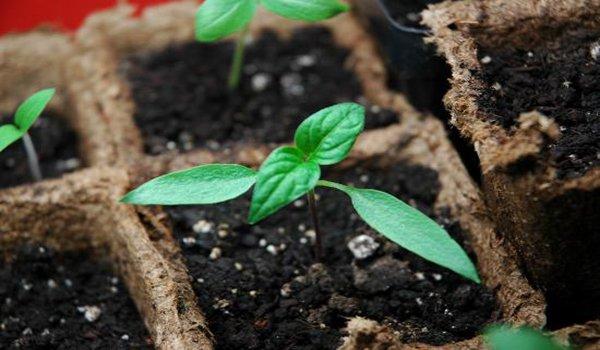 проросшие семена сладкого перца