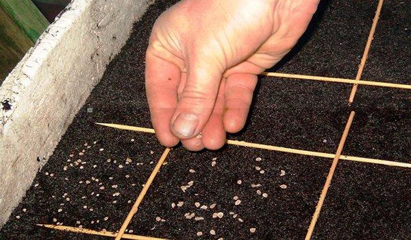 посев подготовленных семян в почву