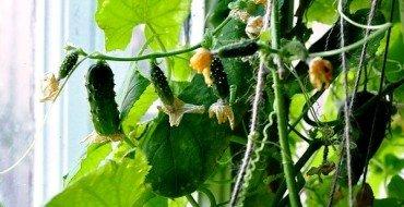 урожай домашних огурцов