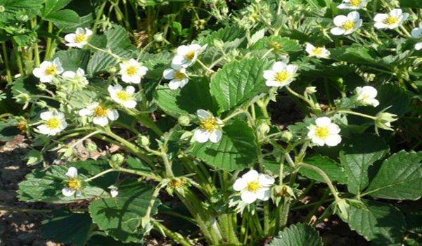 цветущий куст клубники
