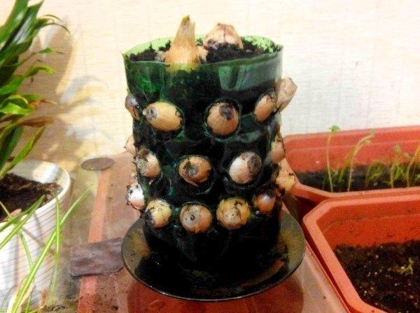 выращивание лука в бутылке дома