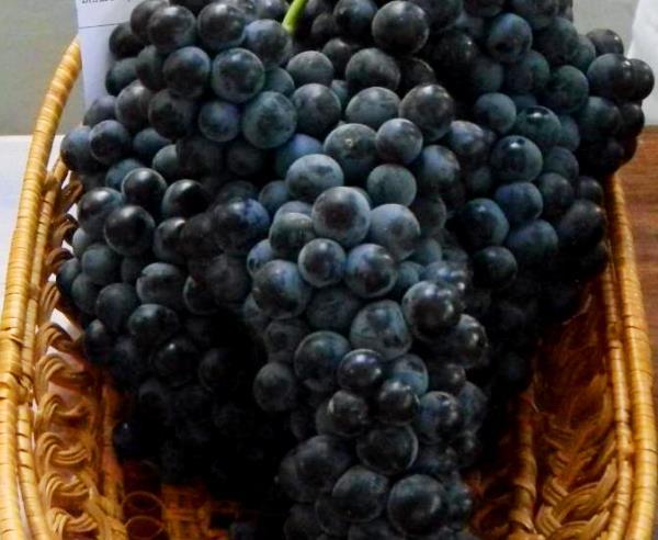Черный жемчуг виноград