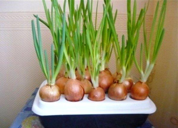 гидропонная установка для домашнего выращивания лука