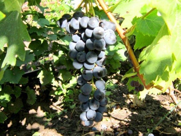 зрелая гроздь Ливадийского черного