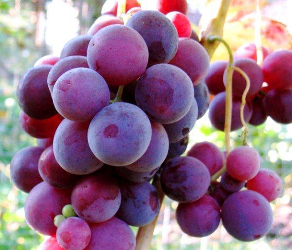 сорт винограда Кардинал