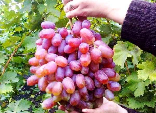 гроздь винограда сорта Юлиан