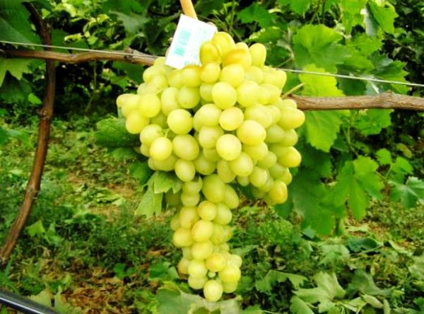 Аркадия зрелая гроздь