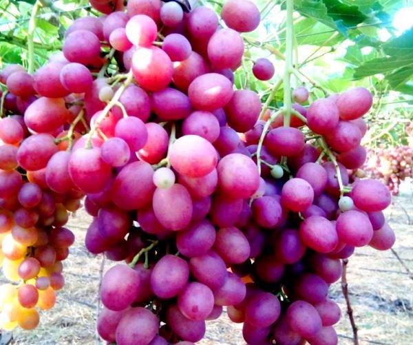 сорт винограда Ливия