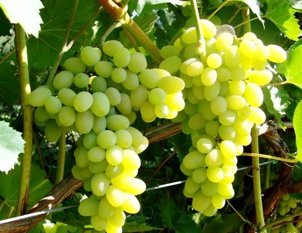 Лора столовый виноград