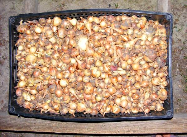 хранение урожая лука-севка
