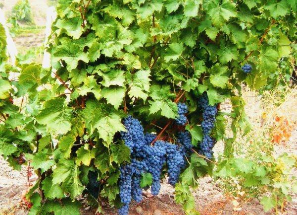 гроздья и куст, сорт Ливадийский черный