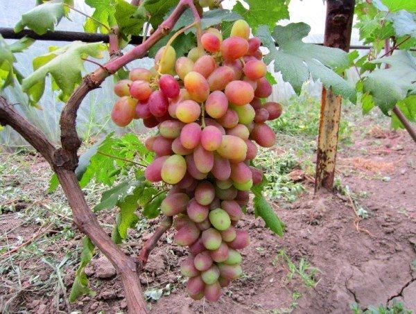 спелая гроздь винограда на кусте