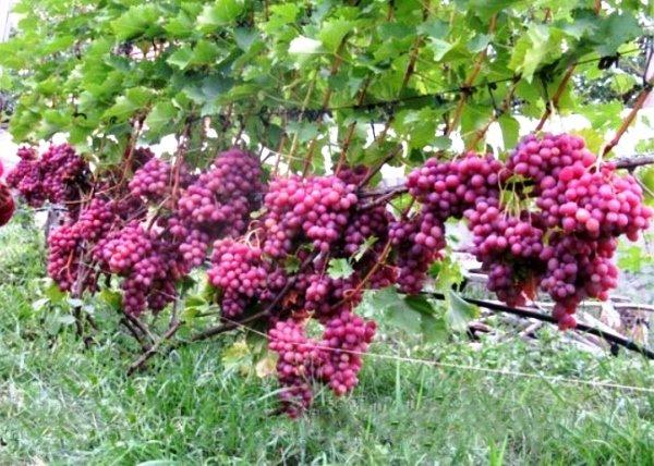 куст винограда сорта Ливия