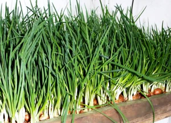 домашний урожай зеленого лука