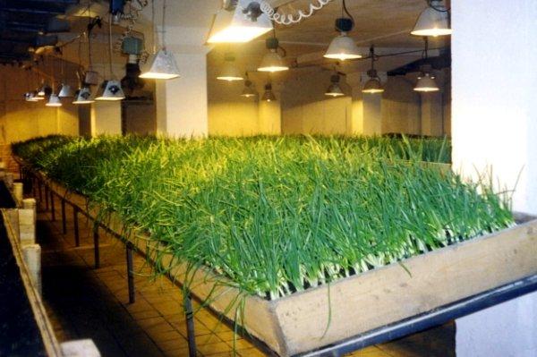 выращивание лука на зелень