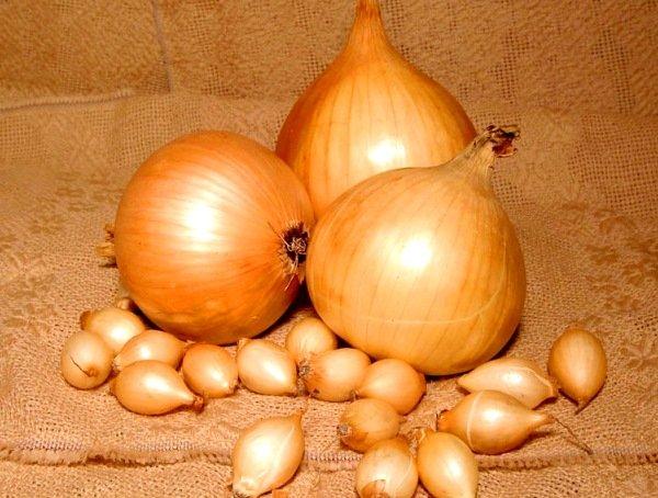 лук-севок и лук-репк сорта Центурион