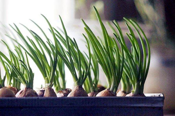 мостовой способ выращивания лука дома