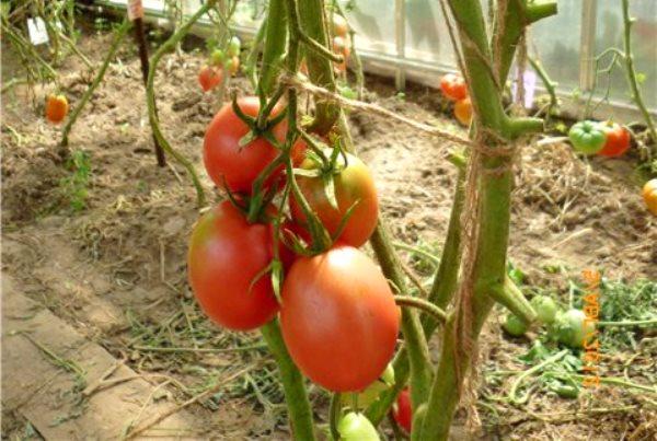 помидоры де барао розовый