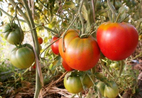 помидоры разной степени зрелости на кусте
