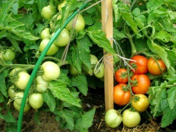 грозди томатов