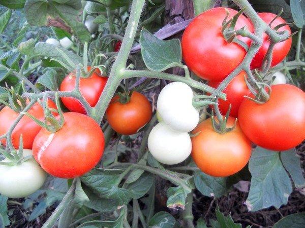 куст помидор Яблонька России