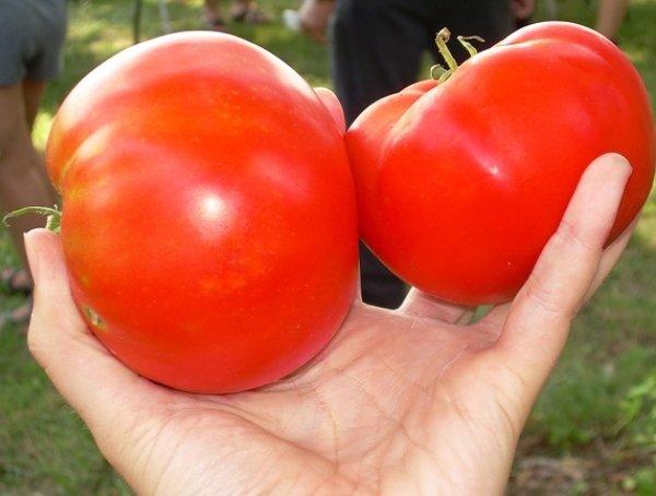 спелые плоды помидоров