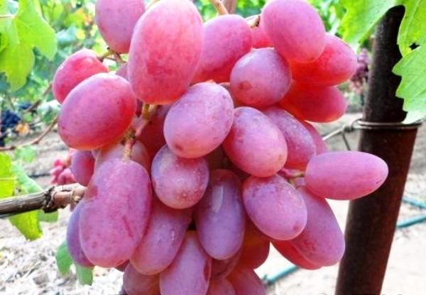 Достоинства винограда Виктор и его недостатки