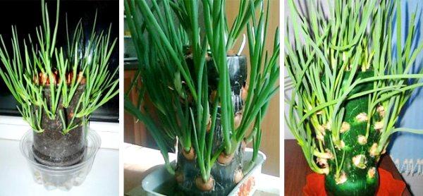 выращивание лука в пластиковой таре