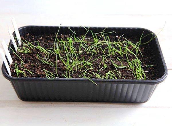 ростки лука из семян