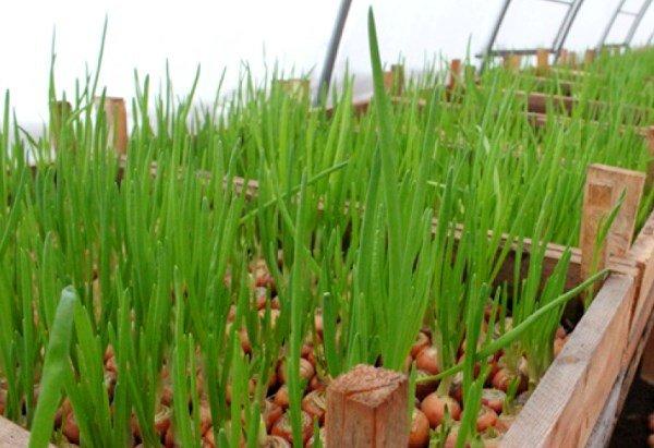 выращивание репчатого лука на зелень