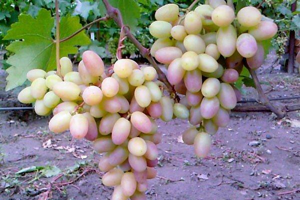 виноград Виктор созревание