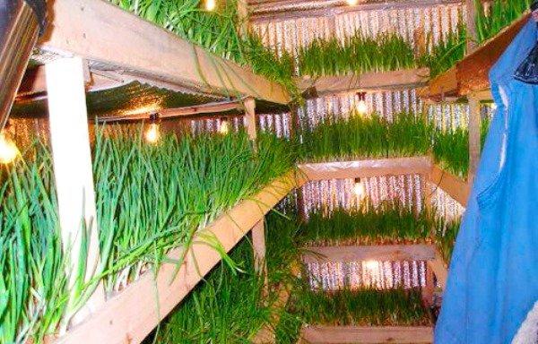 выращивание зеленого лука на стеллажах
