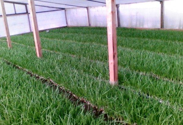 выращивание шнитт-лука в теплице