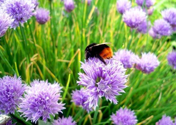 опыление пчелами цветков шнитт-лука