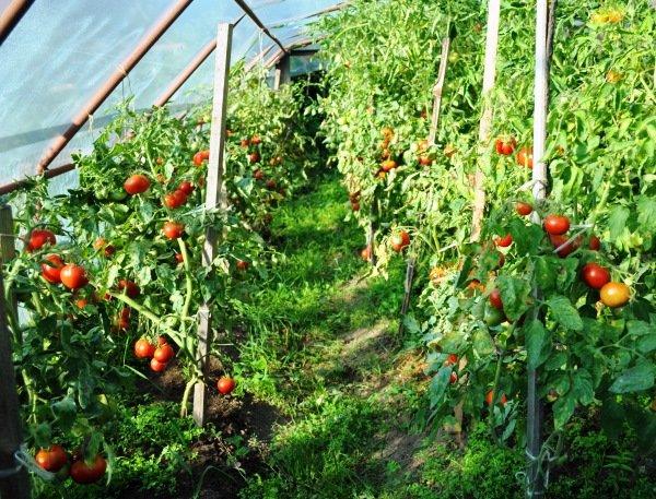 выращивание помидоров в закрытом грунте