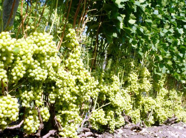 Аркадия выращивание в винограднике