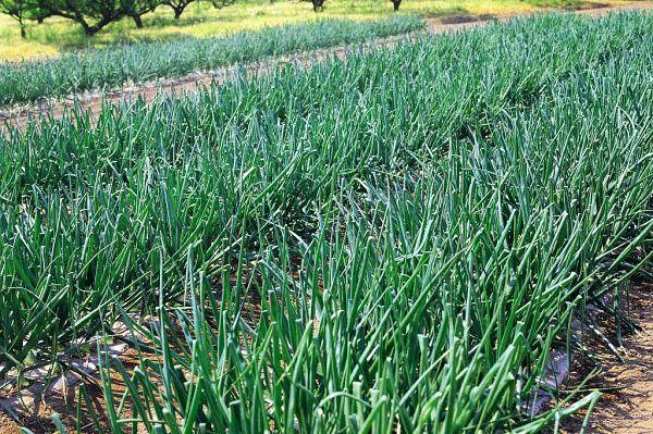 зеленые всходы лука-севка