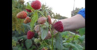 ягоды малины на ветке