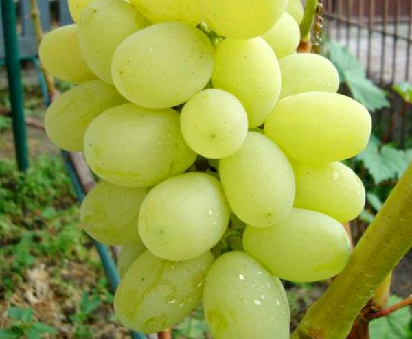 виноград Лора ягоды фото